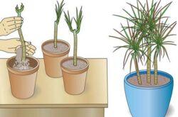 Прежде всего, необходимо сделать так, чтобы длина черенка была не менее 5 см., иначе растение не примется в земле