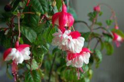 Растение фуксия
