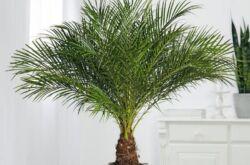 Финиковая пальма, или финик