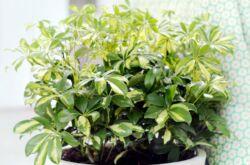 Растение шеффлера