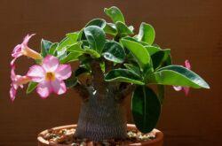 Адениум – уход в домашних условиях. Выращивание адениума, пересадка и размножение. Описание, виды. Фото