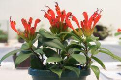 Растение эсхинантус