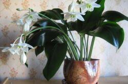 Эухарис или Амазонская лилия, как ее еще называют в народе - это красивое цветущее комнатное растение