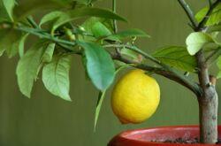 Лимон из косточки