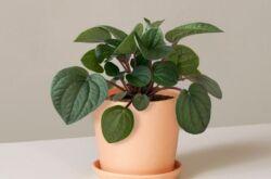 Растение пеперомия