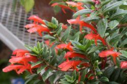 Растение колумнея