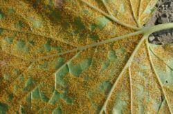 Ржавчина растений. Признаки болезни и способы лечения