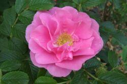 Морщинистая роза. Посадка и уход. Пересадка и размножение. Роза Ругоза