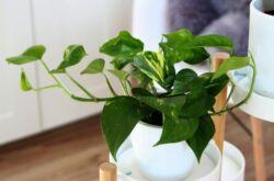 Растение сциндапсус