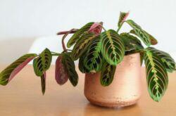 Растение маранта