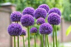Растение аллиум