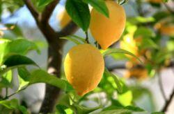 Комнатный лимон. Уход за лимоном. Лимон из косточки