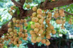 Бирманский виноград: вечнозеленое плодовое дерево и экзотический фрукт