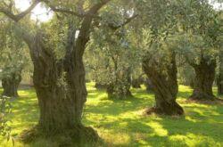 Вечнозеленое дерево олива