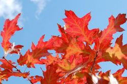 Как првильно посадить и выращивать красный дуб в собственном саду