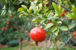Посадка и выращивание в саду плодового дерева гранат