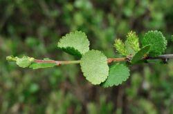 Советы и рекомендации по выращиванию карликовой березы в саду
