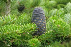 Пихта корейская: фото, описание дерева, использование в ландшафтном дизайне