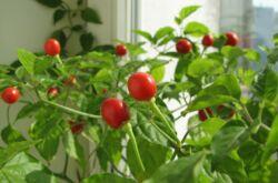 Помидоры на подоконнике. Как вырастить домашние помидоры