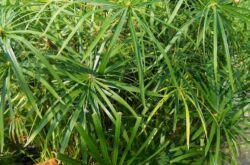 Растение циперус