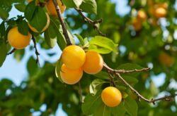 Дерево-фрукт Алыча