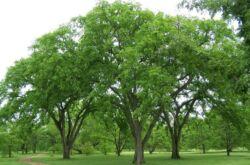 Дерево вяз гладкий. Как выглядит на фото, описание листьев
