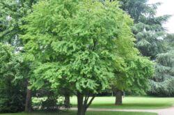 Дерево японский багрянник