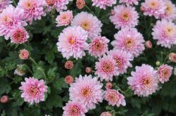 Растение хризантема