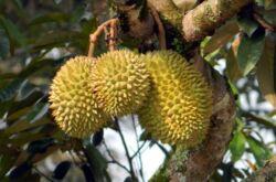 Фрукт дуриан цибетиновый. Фото плодов, где растет