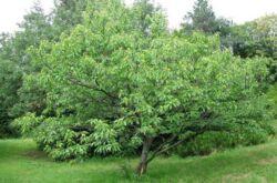 Каштан посевной. Фото и описание дерева