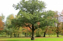 Дерево ольха чёрная