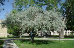 Как правильно выращивать дерево лох узколистный или русскую оливу