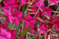 Душистый табак. Выращивание однолетнего цветка