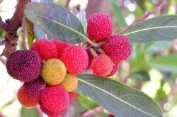 Дерево восковница красная. Фото, описание и применение