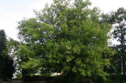 Клён ясенелистный американский. Фото и описание дерева, листья