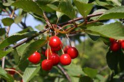 Дерево вишня. Описание, фото плодов и соцветий