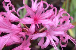 Нерине. Цветок лилия-паук. Уход и выращивание