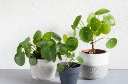 Растение пилея