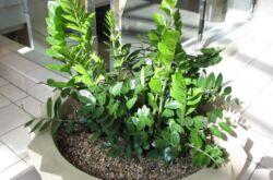 Замиокулькас - долларовое дерево. Уход в домашних условиях