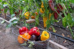 Подкормки перцев и баклажанов