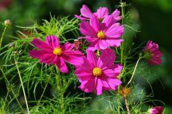 Растение космея