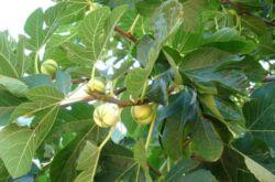 Инжир или фиговое дерево. Выращивание, полезные свойства