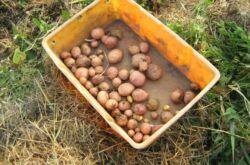 Выращивание картофеля под соломой или мульчой
