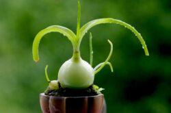 Индийский лук. Птицемлечник хвостатый. Выращивание и уход. Применение в медицине