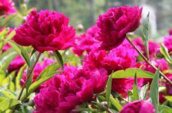 Посадка пионов. Как правильно посадить пионы в саду и на даче