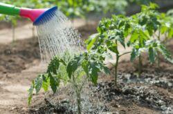 Полив огорода при недостатке воды: метод искусственной росы