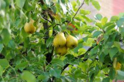 Как правильно посадить грушу. Посадка груши весной