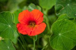 Растение настурция