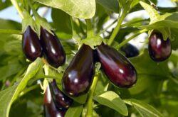 Как вырастить баклажаны: семь секретов хорошего урожая