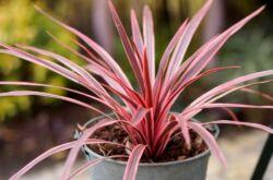 Растение кордилина